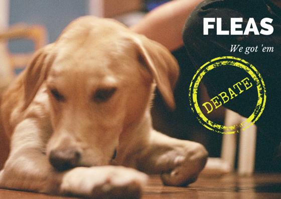 Fleas debate